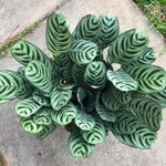 Ctenanthe Burle Marxii - Air Purifying Indoor Plant