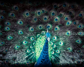 "Fine Art Photographic Print with Black Matte - 8"" x 10"" - ""Eyes of the Storm""- Peacock"