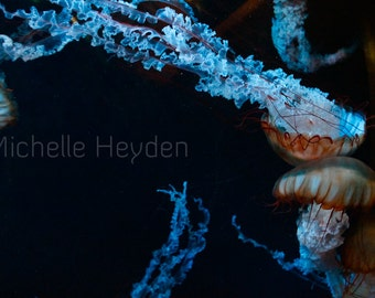 "Fine Art Photographic Print on Metallic Paper with White Matte- 20"" x 24""- ""Unfurling""- Colorful Jellyfish with Black"