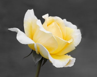 Yellow Rose Flower Photography, Minimalist, Yellow and Gray Wall Art, Black and White Gifts for Wife, Floral Bathroom Art, Wall Art for Girl