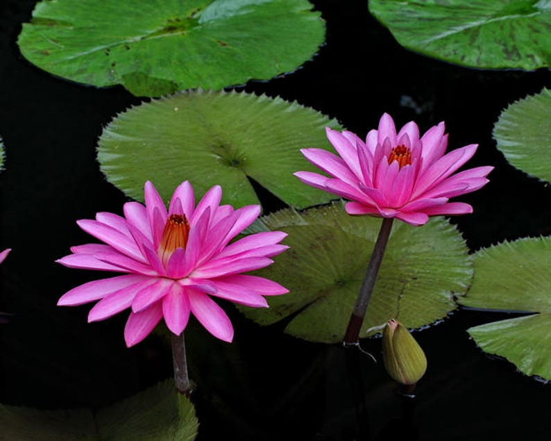 Pink Water Lily Lotus Flower Photo Botanical Print Water Etsy