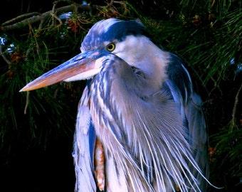 Great Blue Heron by Catherine Roché, Coastal California Sea Bird Photography, Wildlife Photography, Oxnard Nature Photography, Fine Art