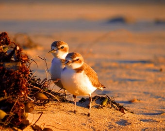 The Plover Boys by Catherine Roché, Coastal California Sea Bird Photography, Malibu Beach Photography, Wildlife Photography, Fine Art