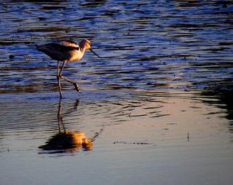 American Avocet by Catherine Roché, California Wildlife Photography, Nature Sea Bird Photography, Malibu Beach Photography, Fine Art