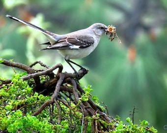 Mocking Bird by Catherine Roché, California Bird Photography, Spring Nature Photography, Topanga Wildlife Photography, Fine Art