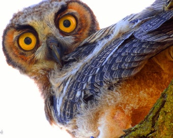 Great Horned Owl by Catherine Roché, California Wildlife Photography, Owl Photography, Bird Photography, Nature Photography, Fine Art