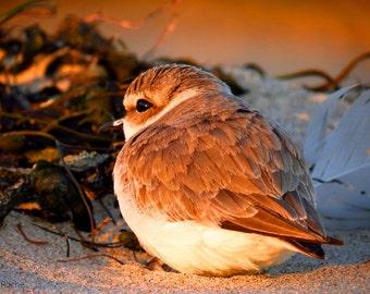 Snowy Plover by Catherine Roché, California Sea Bird Photography, Malibu Wildlife Photography, Malibu Lagoon Beach Photography, Fine Art