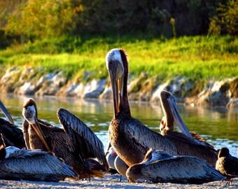 Brown Pelicans at Malibu Lagoon by Catherine Roché, California Sea Bird Photography, Malibu Wildlife Photography, Coastal Nature, Fine Art
