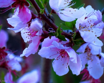 Apricot Blossoms by Catherine Roché, California Nature Photography, White Flowers Photography, Spring Photography, Fine Art