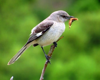 Mocking Bird with a Worm by Catherine Roché, California Animal Photography, Nesting Bird Photography, Spring Nature Photography, Fine Art