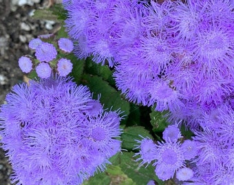 Ageratum mexicanum dwarf Blue Mink, 150 seeds, compact flowers, cool season annual, long bloom season, easy to grow
