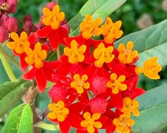 Scarlet RED Butterfly Milkweed Seeds Monarch Host 24
