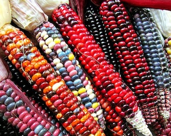 Painted Mountain, heirloom dent corn, 20 rare seeds, non GMO, rainbow colors, ornamental, cold climate, early harvest, gorgeous ornamental
