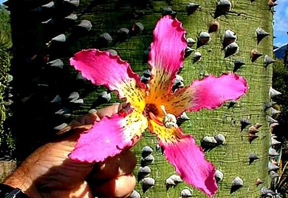 Silk floss tree chorisia 10 seeds ceiba kapok tree huge etsy silk floss tree chorisia 10 seeds ceiba kapok tree huge pink blooms fast growing drought tolerant zones 8 to 11 nifty bonsai mightylinksfo