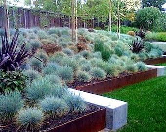 Blue Fescue Grass, 100 seeds, Festuca glauca, ground cover, perennial zones 4 to 10, drought tolerant, deer proof, loves the desert, so easy