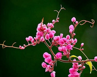 Antigonon leptopus, Coral Love Vine, 10 seeds, vibrant pink climber for sun or shade, drought tolerant, loves heat, shocking pink blossoms