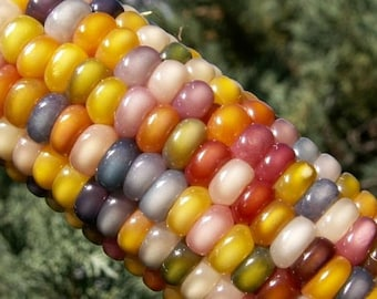 Glass Gem Corn, gorgeous, 25 seeds, rare heirloom, original strain, non GMO, ornamental flint corn, legendary beauty, Gem Corn Seed