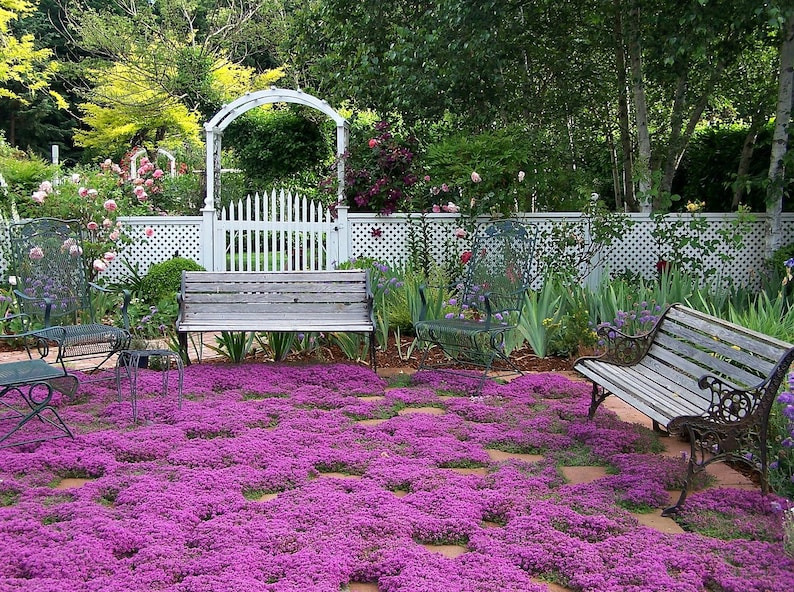 Creeping Thyme ground cover 1000 seeds fragrant herb pink image 0