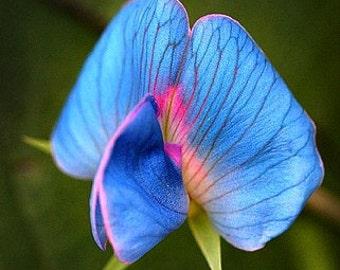 King Tut Blue Sweet Pea, Lathyrus sativus azureus, 10 very rare seeds, easy to grow, all zones, bushy vines, ground cover, luminous blue