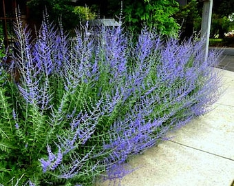 Russian Sage, Perovskia, 20 seeds, fluffy blue border, silver foliage, fragrant  flowers, drought tolerant, deerproof, butterflies, hummers