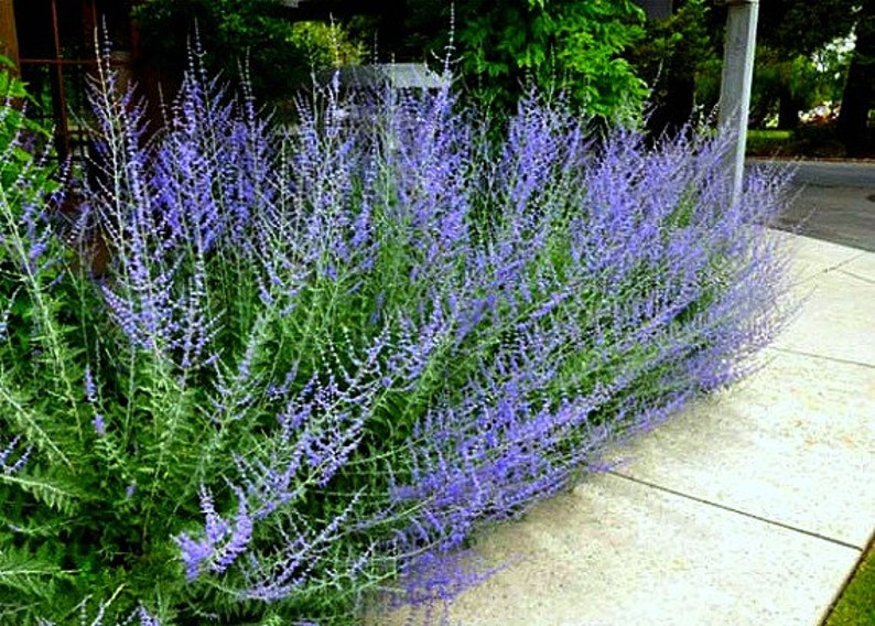 Russian Sage Perovskia 20 seeds fluffy blue border silver image 0