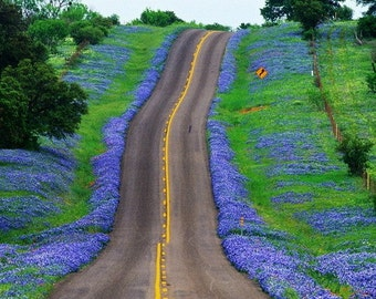 Desert Bluebells, Phacelia campanularia, 500 seeds, electric blue wildflower, any zone 3 to 10, great ground cover, desert charmer