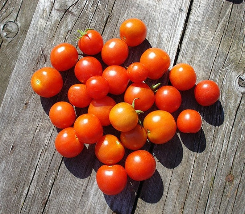 Tiny Tim miniature heirloom tomato, 25 seeds, teeny fruit, patio plant,  container plant, windowsill, super early, 45 days, grows year round