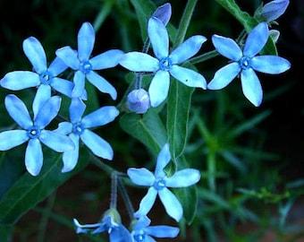 Tweedia caerulea, Blue Star Milkweed vine, 10 seeds, rare turquoise flowers, easy in zones 8 to 10, sun or shade, Oxypetalum, Monarchs