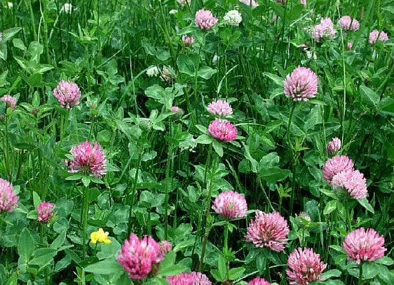 Trèfle fraise en vrac 5000 graines Trifolium truie pelouse   Etsy d962a7ad26a
