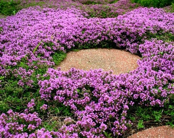 Creeping Thyme bulk pack ground cover, 4000 seeds, fragrant herb, pink blooms, zones 4 to 9, sun or light shade, deerproof, Thymus serpyllum