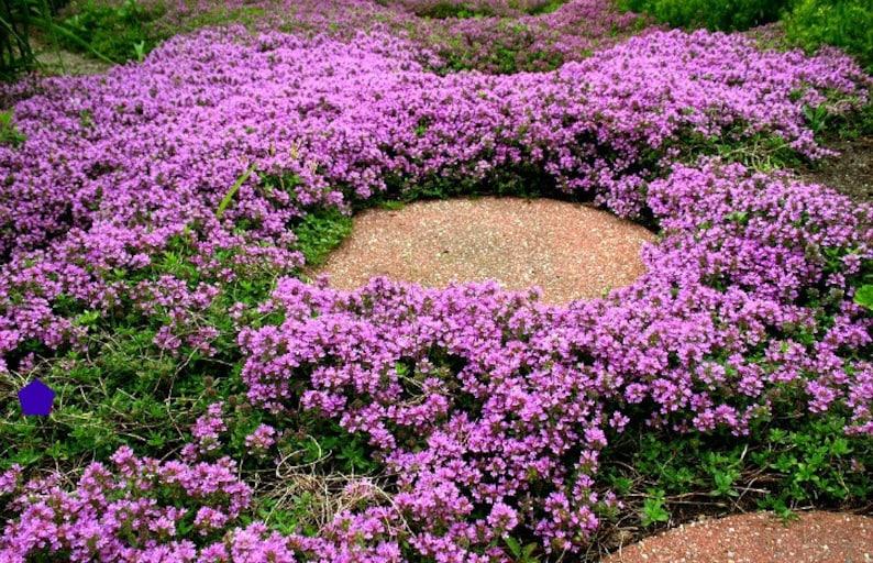 Creeping Thyme bulk pack ground cover, 4000 seeds, fragrant herb, pink blooms, zones 4 to 9, sun or light shade, deerproof, Thymus serpyllum photo