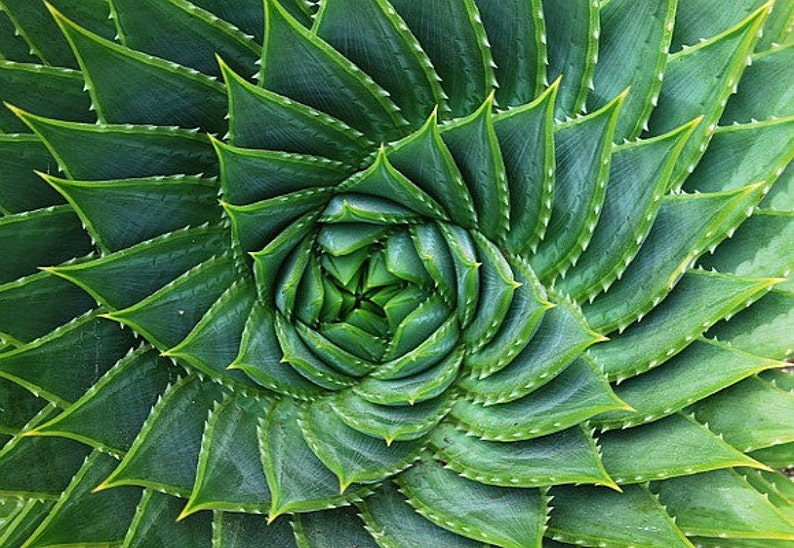 Aloe polyphylla spiraling succulent 5 rare seeds almost image 0
