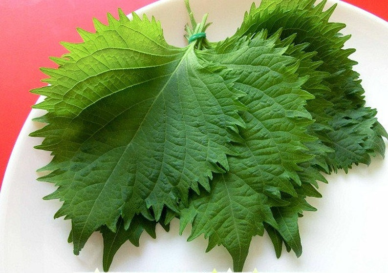 Green Shiso, Perilla frutescens, 100 seeds, tangy Japanese herb, sushi bar, Asian heirloom, cool weather, fragrant and delicious photo