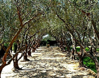Olive Tree, 25 bulk seeds, Olea europeana, fruiting tree, perfect bonsai, zones 9 - 10, drought tolerant, silver leaves, gnarly trunk, easy