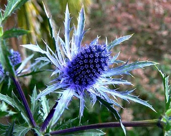 Blue Sea Holly, 25 seeds, great cut flower, dried flower, Eryngium planum, bright shade, deer proof, cold hardy, perennial in all zones