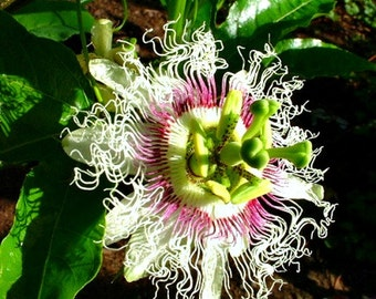 Sweet Lilikoi, Passiflora edulis flavicarpa, 10 seeds, tropical vine, luscious fruit, glorious blooms, Yellow Passionfruit, zones 9 to 10