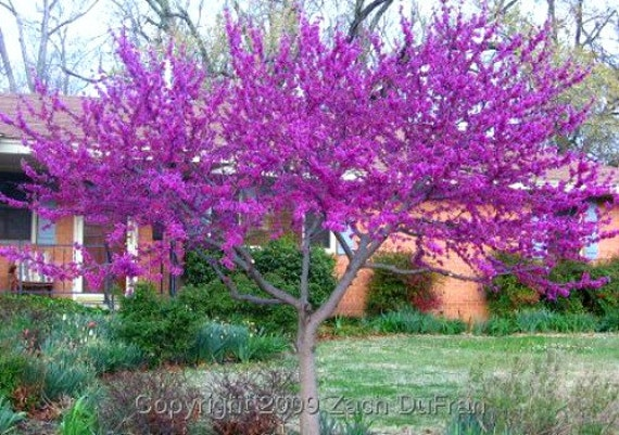 Western Redbud Tree Cercis Occidentalis 10 Seeds Showy Etsy