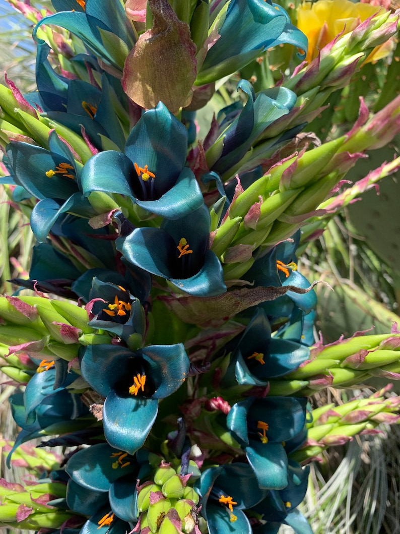 Puya alpestris Sapphire Tower giant bromeliad 15 rare image 0