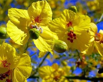 Palo Verde Tree, Cercidium floridium, showy tree, yellow desert bloomer, 10 seeds, loves extreme heat, drought tolerant, xeriscape beauty