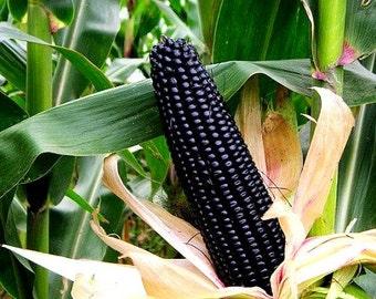 Aztec Black Corn, ancient heirloom, 20 seeds non GMO, early plants, black flint corn, blue corn meal, gorgeous