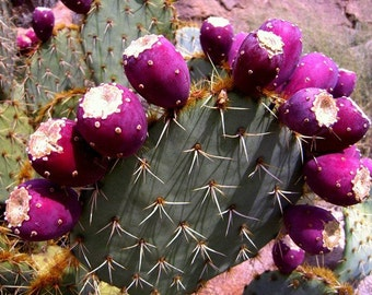Cactus Apple, Opuntia engelmannii, 10 seeds, showy prickly pear, juicy fruit, orange blooms, zones 8 to 11, xeriscape, effective fence