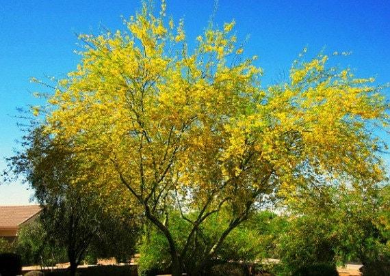 Palo Verde Tree Cercidium Floridium Showy Tree Yellow Etsy