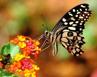 Butterfly Garden Collection, six species, 260 heirloom seeds, Milkweeds, Asclepias, Passionflower, Morning Glories, Monarchs