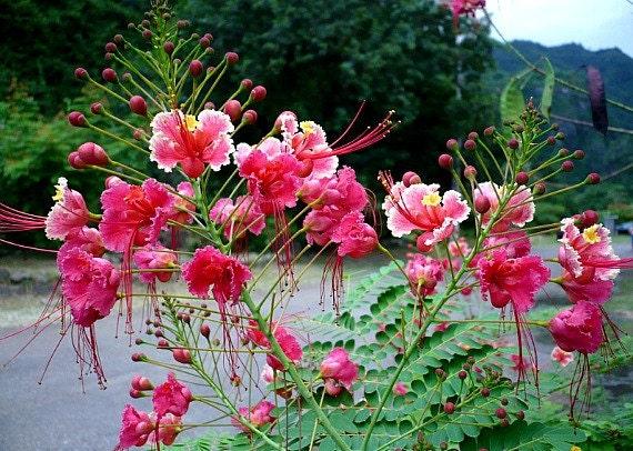 Pride Of Barbados Pink Blooms Caesalpinia Rosea 5 Rare Etsy