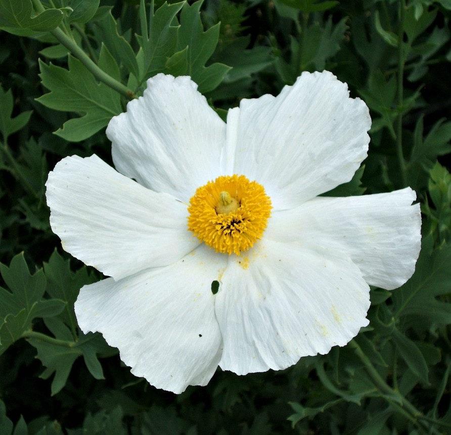 Matilija Poppy Fried Egg Poppy 25 Seeds Romneya Coulteri Desert Bloomer Zones 7 To 11 Full Sun Drought Tolerant Gigantic Blooms