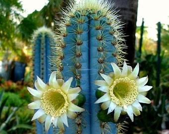 Pilosocereus azureus, Blue Torch Cactus, 10 seeds, night blooming, windowsill, xeriscape garden, full sun, drought tolerant, glorious color
