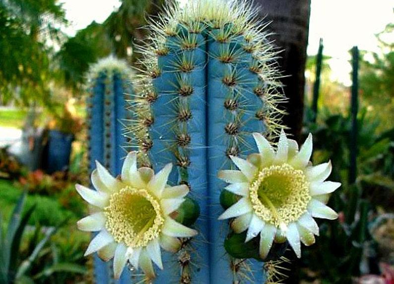 Pilosocereus azureus, Blue Torch Cactus, 10 seeds, night blooming, windowsill, xeriscape garden, full sun, drought tolerant, glorious color photo