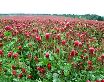 Crimson Clover, 500 bulk seeds, Trifolium incarnatum, spring cover crop, sun or shade, all zones, attracts beneficials, vibrant ground cover