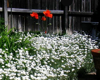 Snow in Summer, 200 seeds, Cerastium tomentosum, silvery ground cover, all zones 3-10, desert heat, drought tolerant, airy white blossoms