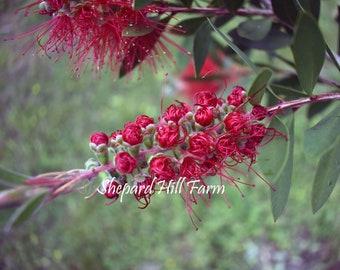 Bottle Brush Flower DIGITAL Download Photography Printable Woodlands Nature Background Graphics Mockup Art COMMERCIAL LICENSE